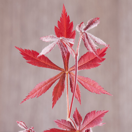 acer palmatum: Red leaves of acer palmatum over wooden background, square image