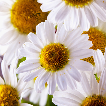 square image: White daisies in a bunch, square image