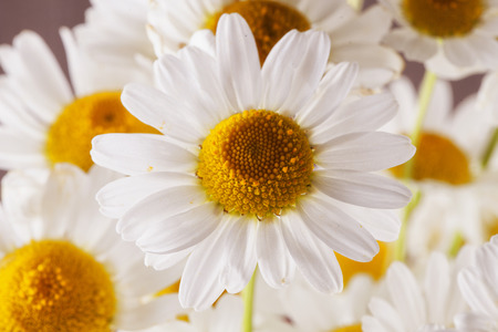 White daisies in a bunch, horizontal image