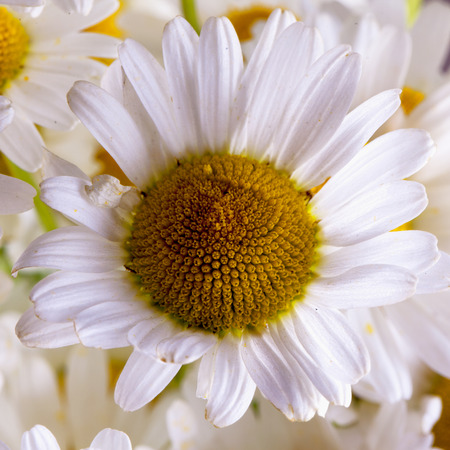 white daisy: White daisy in a bunch, close up, square image