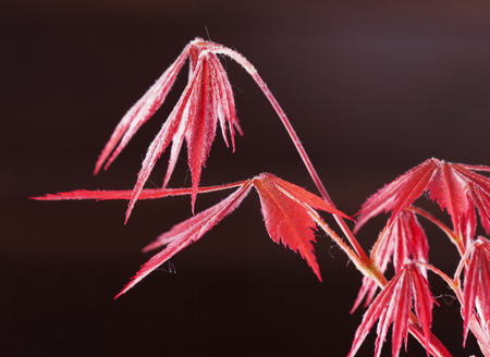 bloodgood: Acer palmatum red leaves over brown background horizontal image Stock Photo