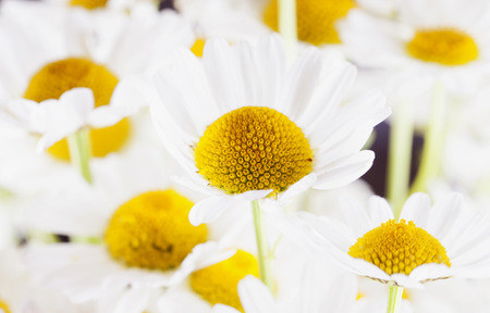 White daisies in bunch horizontal image focus on center Stock Photo