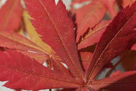 palmatum: Red leaves of acer palmatum in close up, for background, horizontal image