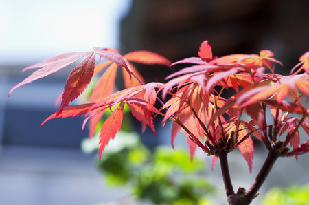 Red leaves of acer palmatum in close up, horizontal image