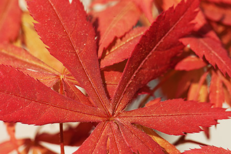 Red leaves of acer palmatum in close up, for background, horizontal image