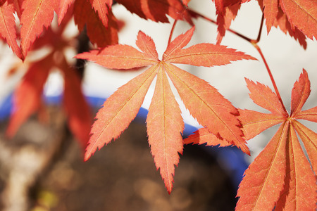 acer palmatum: Red leaves of acer palmatum in close up, horizontal image