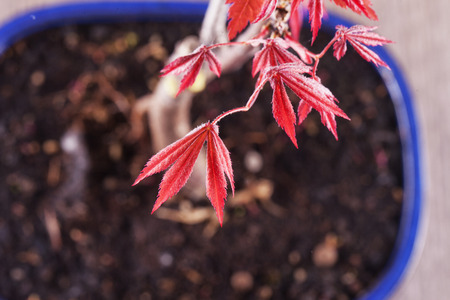 acer palmatum: Acer palmatum bonsai in vase, seen from above, horizontal image Stock Photo
