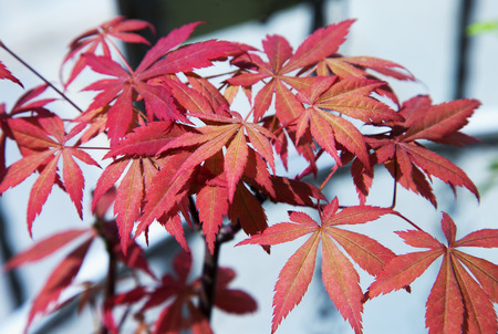 acer palmatum: Acer palmatum red leaves over lite background, horizontal image Stock Photo