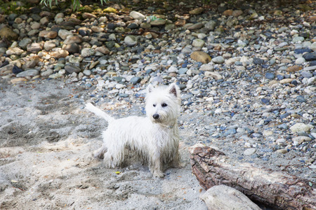cute westie: Wonderful West Highlands Terrier on the sand of a beach, horizontal image Stock Photo