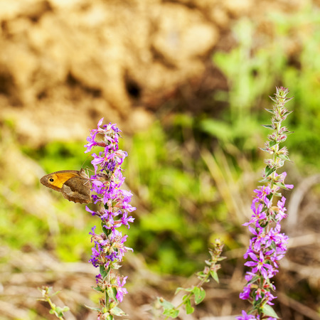 square image: Butterfly orange and brown over flowers, square image