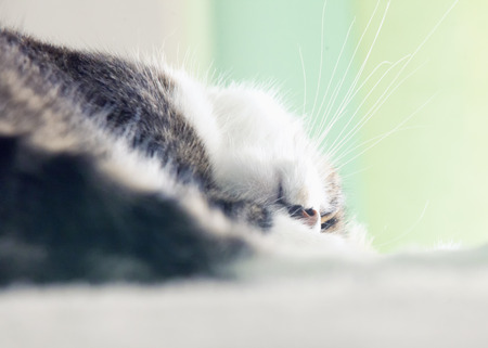 pussy hair: Sleeping cat head upside down, horizontal image Stock Photo