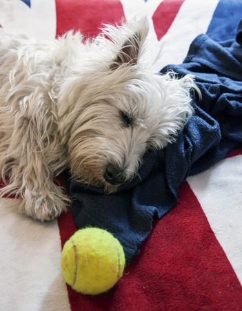 cute westie: Sleeping West Highlands Terrier over bed cover, vertical image Stock Photo