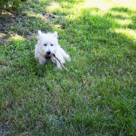 westie: Westie in a grass field, biting a piece of wood, square image