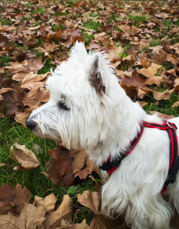 westie: Westie between the dead leaves, vertical image Stock Photo