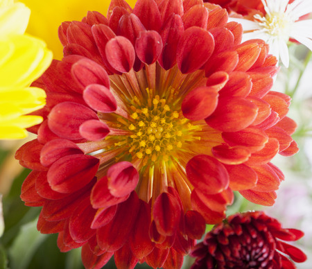 red gerber daisy: Red daisy in close up, horizontal image