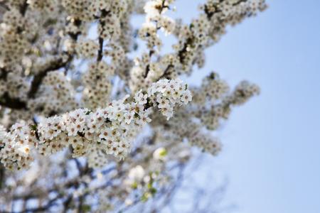 flowers horizontal: Cherry tree full of white flowers, horizontal image