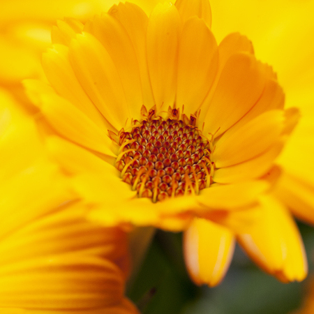 square image: Yellow Gerbera in close up, square image