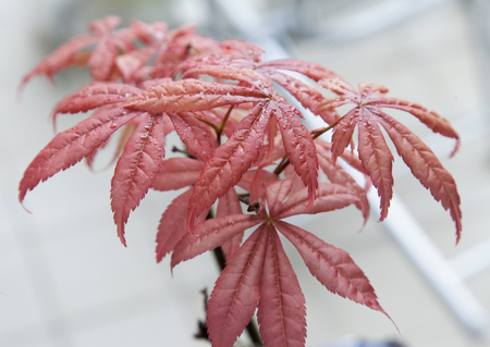 acer palmatum: Acer palmatum in close up, horizontal image