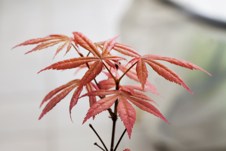 acer: Acer palmatum in close up, horizontal image