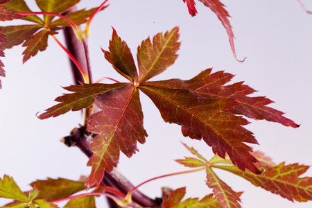 acer palmatum: Acer palmatum leaf in close up, horizontal image