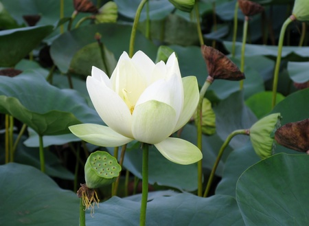 White lotus flower and seedpods photo