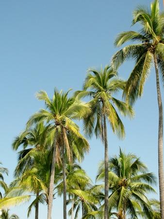 Palm Trees againbst blue sky photo