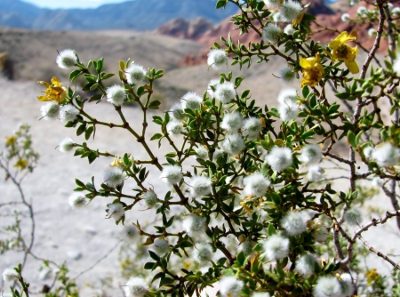 Creosote bush in Red Rock Canyon, Nevada photo