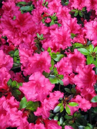 Bright pink azalea blossoms Banco de Imagens