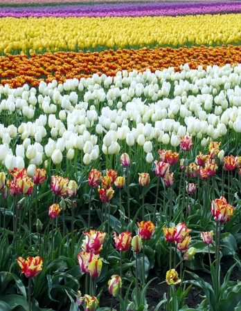 catchy: Tulip field at Skagit Tulip Festival in Washington