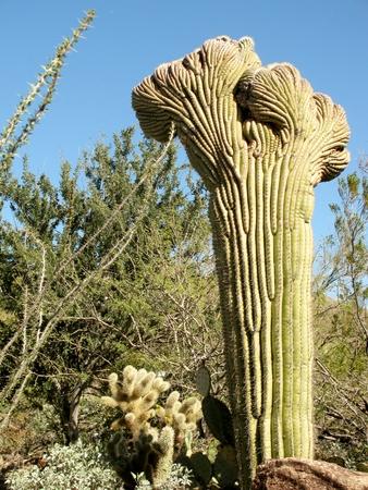 carnegiea: Crested (Cristate) Saguaro cactus