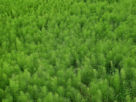 equisetum: Field Horsetail plants Equisetum arvense Stock Photo