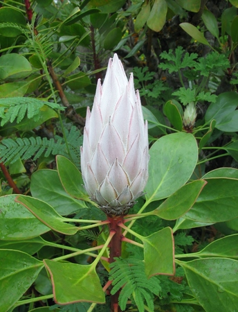 bracts large: The king protea flower bud
