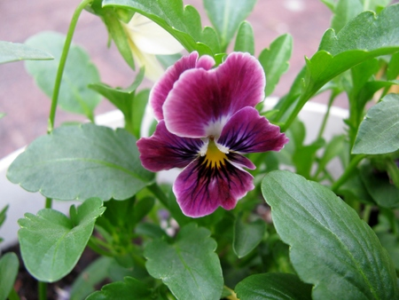 veining: Purple pansy in garden, also known as viola Stock Photo