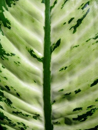 dumb: Green leaf of a tropical plant Dumb Cane close-up. Stock Photo