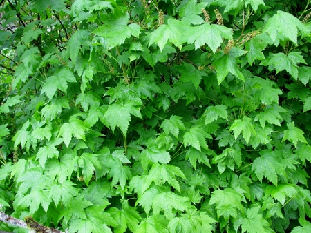Thimbleberry  shrub close-up, Tillamook Head Trail, Oregon