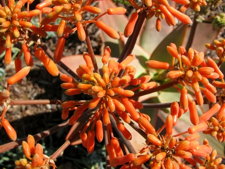 branching coral: Coral Aloe Aloe striata flowers and small green bugs under them