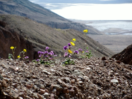 Yellow and purple flowers in Death Valley, California