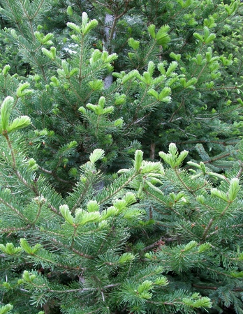 thorn tip: Young sprout of spruce trees background