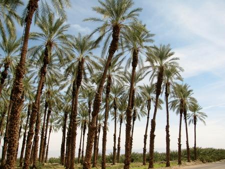 date tree: Date palm tree plantation