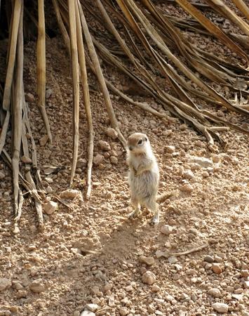 burrows: Small wild desert round-tailed ground squirrel Stock Photo