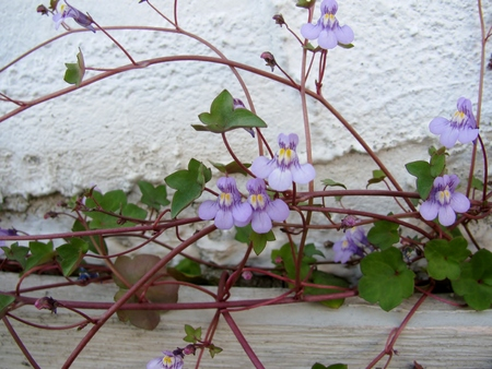 ivy wall: Dainty ground cover plant with tiny pale mauve flowers Kenilworth Ivy cymbalaria muralis or ivy-leaved toadflax trailing from a white wall Stock Photo