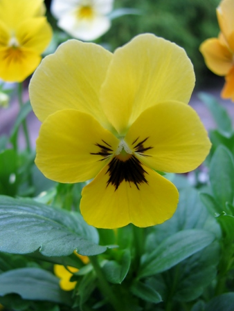 Yellow pansy in garden, also known as viola