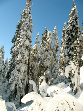 Trees caked with snow against a clear blue sky on the slopes of  Mount Seymour