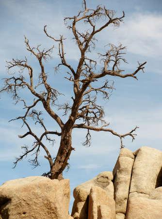 joshua tree national park: Dry tree at Joshua Tree National Park