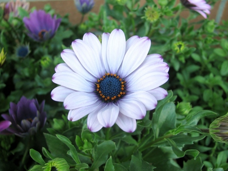 osteo: White and purple African daisy flowers in the garden Stock Photo
