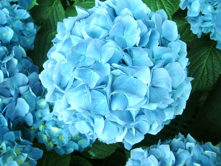 Blooming blue hydrangea Stock Photo - 78154656