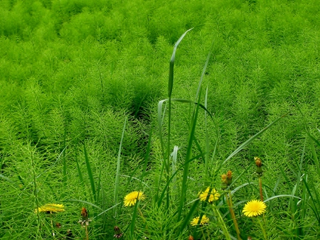 Field Horsetail and dandelions in a meadow Stock Photo