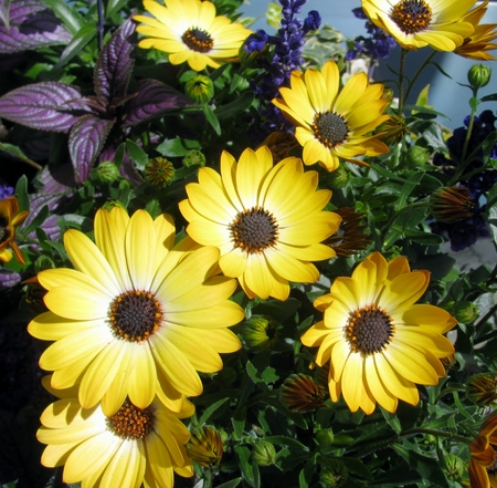 osteo: Yellow African daisy flowers in the garden Stock Photo