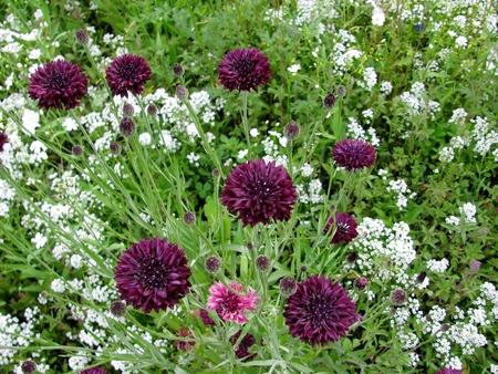 Dark purple cornflowers Centaurea cyanus