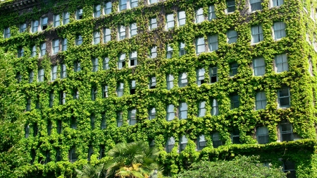 Building surrounded by the green leaves of a climbing Boston Ivy plant.